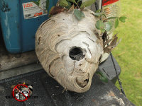 Hornets nest on the tailgate of a pickup after being removed from a house in Signal Mountain Tennessee