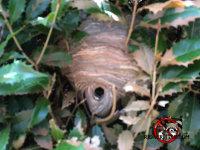 Hornets' nest in a bush in Macon, Georgia