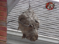 Large hornets nest hanging from the soffit of a house in East Brainerd Tennessee