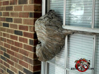 Hornets' nest built against the window of a home in Macon, Georgia