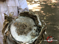 Hornet control technician holding a hornets nest, with paper cells and dead hornets inside