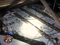 The insulation between the joists is flattened out and contaminated with animal urine and droppings