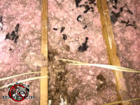 Three separate piles of raccoon droppings in the insulation in an attic in Hoover Georgia