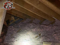 Filthy animal contaminated insulation in the unfinished attic of a house in Chattanooga needs to be replaced with new insulation