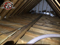 Bare joists and rafters after the insulation was removed from the unfinished attic of a house in Columbus Georgia due to animal contamination.