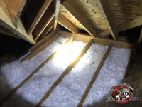 Attic insulation in a house in Red Bank Tennessee is flattened out and contaminated with animal droppings and urine
