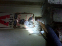 Dead mouse in a snap trap at a non-chemical mouse extermination job in Alpharetta