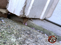 Tiny gap under the wooden trim between the concrete walkway and the bricks allowed mice into a house in Roswell Georgia