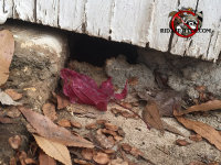 Mouse hole and droppings at ground level right under the exterior siding of a house in Alpharetta Georgia