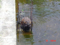 Muskrat trapped in Columbus, Georgia