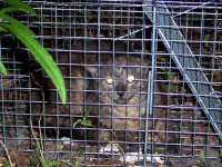 Feral cat in a trap in McDonough, Georgia