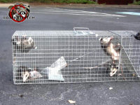 Three young opossums in a cage after being trapped and removed from a home