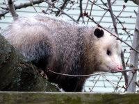 An opossum on a tree limb behind a house in Bessemer, Alabama