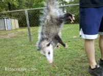 Animal trapper holding an opossum by the tail in Birmingham, Alabama