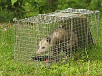 An opossum in a trap after being removed from a crawl space of a house in Homewood, AL