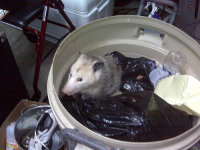 Possum in a bucket in Kennesaw, Georgia