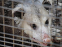 Young possum in a cage, trapped in a garage in Moody, Alabama