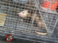 Young opossum in a cage trap after being removed from a house in Signal Mountain, Tennessee