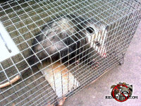 Opossum in a cage trap after being removed from a garage in Chattanooga Tennessee