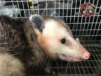 Close up of the face of an opossum in a cage trap after being removed from a house in Birmingham Alabama