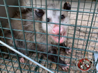 Young opossum in a cage trap snarling toward the camera after having been trapped and removed from the attic of a house in Chattanooga Tennessee