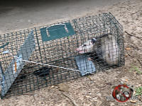 Raccoon in a cage trap awaiting its relocation elsewhere after having been removed from the crawl space of a house in Macon Georgia