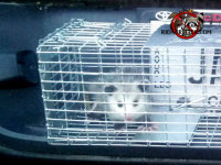 Very young opossum in a trap on the rear bumper of a pickup after being removed from a house in Macon, Georgia