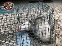Young opossum in a cage trap after being removed from a house in Roswell Georgia