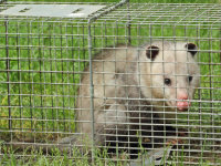 An opossum in a cage trap after being removed from under a house in Oxford, Alabama