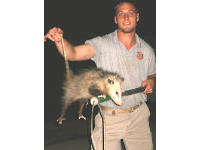 Animal control technician holding a possum trapped in Roswell, Georgia