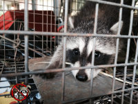 Baby raccoon in a cage trap after being removed from a Macon, Georgia home