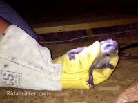Baby raccoon in an animal control technician's gloved hand