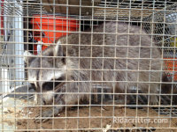 A raccoon in a trap after being removed from a home in Birmingham, Georgia