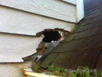 Raccoon hole on the side of a house in Homewood, Alabama