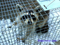 A young raccoon in a trap after being humanely removed from a home in Leeds, AL