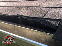 Raccoons tore apart the shingles at the edge of the roof over the rain gutter