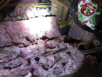 Raccoons made a mess of the insulation and vapor barrier in the attic of a house in Chattanooga Tennessee