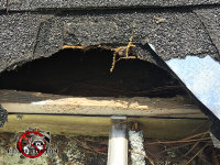 Roof shingles and sheathing of a house in Red Bank Tennessee have been torn and gnawed by raccoons