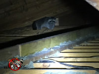 Raccoon walking on the joists in the attic of a house in Chattanooga Tennessee