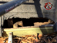 Raccoon enlarged an existing squirrel hole on the roof to get into a house in Macon Georgia