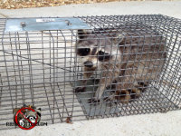 Raccoon in a cage trap after being removed from a house in Centerville, Georgia.