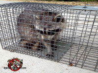Raccoon in a trap after being removed from a home in Forsyth, Georgia.