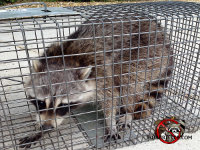 Raccoon in a trap after being removed from a house in Hawkingsville, Georgia