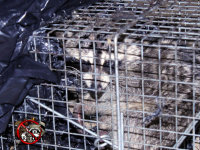 Raccoon in a cage trap after being removed from a home in Macon, Georgia
