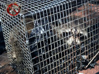 Live raccoon in a cage type trap facing the camera after being trapped and removed from the attic of a house in Chattanooga
