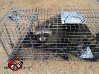 Raccoon in trap after being removed from a crawl space in Cordele, Georgia