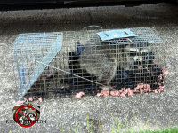 Raccoon in a cage trap after having been removed from a house in Birmingham Alabama