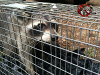 Raccoon in a trap awaiting transport after being trapped and removed from a house in Roberta, Georgia