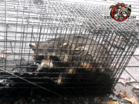 Raccoon in a cage trap after being removed from the attic of a house in Valdosta