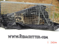 Raccoon in a trap in Macon, Georgia over a company sign